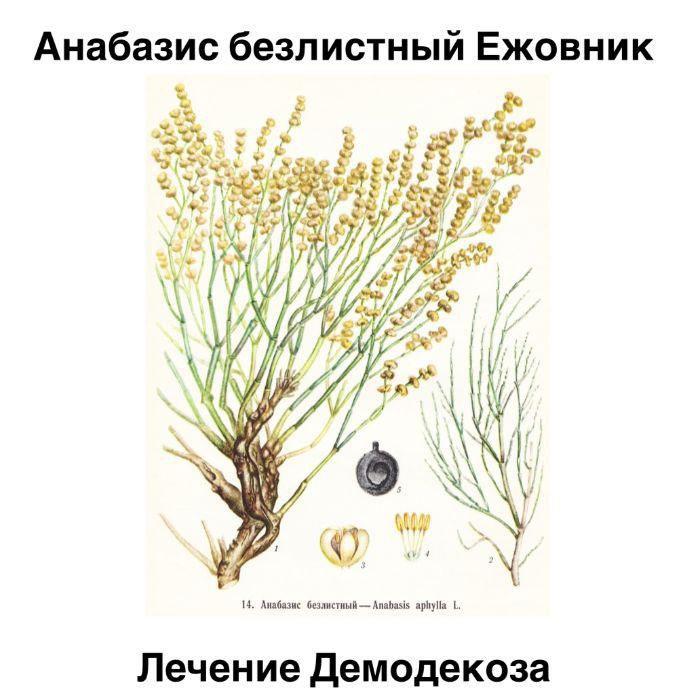 Трава ежовник