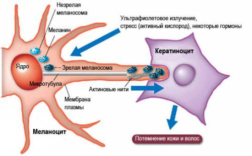 Процесс пигментации кожи