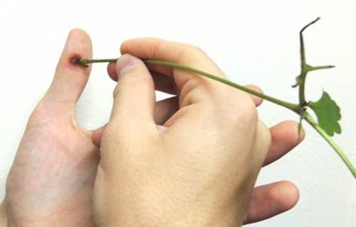 Удаление шипицы чистотелом
